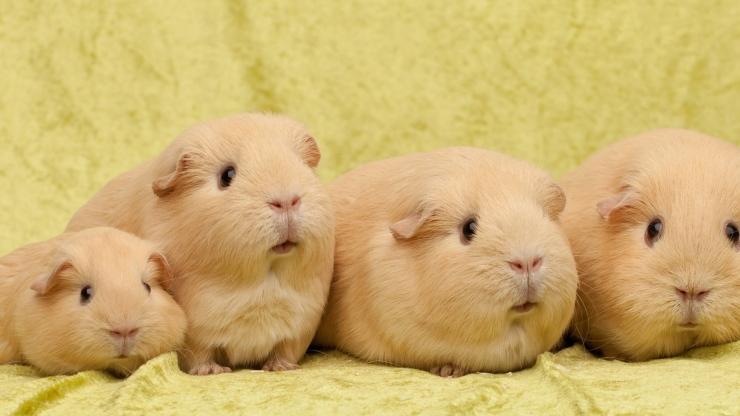guiniea pigs